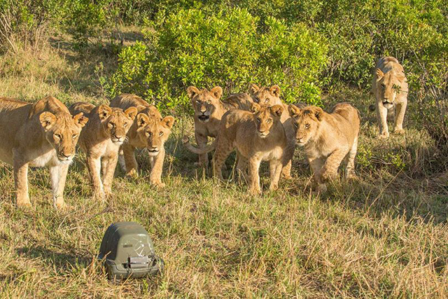 Cubs-and-Lion-Cam
