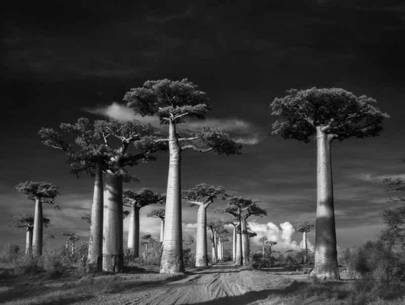 Avenue-of-the-Baobabs-Beth-Moon