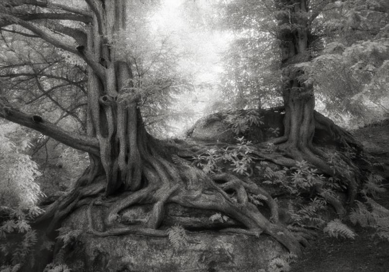 Wakehurst-Yews-Beth-Moon