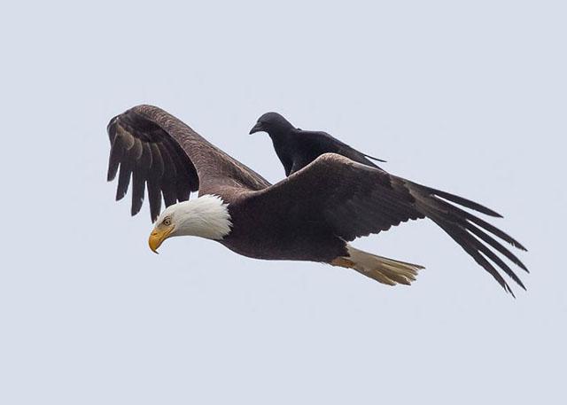krähe-fliegt-auf-adler-huckepack