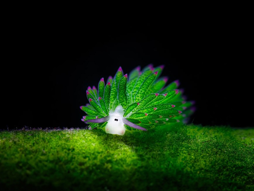 leaf-sheep-sea-slug-costasiella-kuroshimae-Jim-Lynn