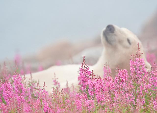 Polar Bear (Ursa maritimus) in fireweed (Epilobium angustifolium