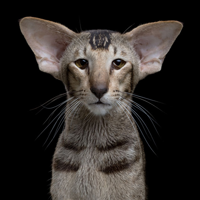 Name-AgeGender-Oriental-Shorthair-267