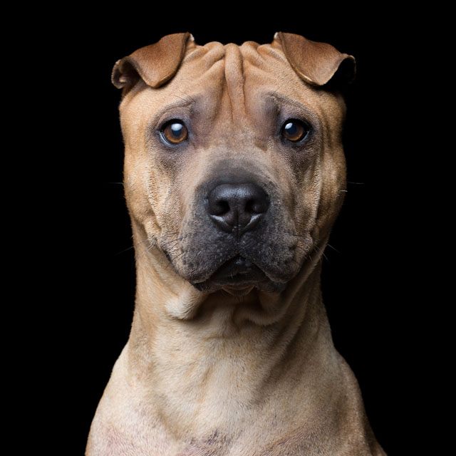 Name-AgeGender-Shar-Pei-0630