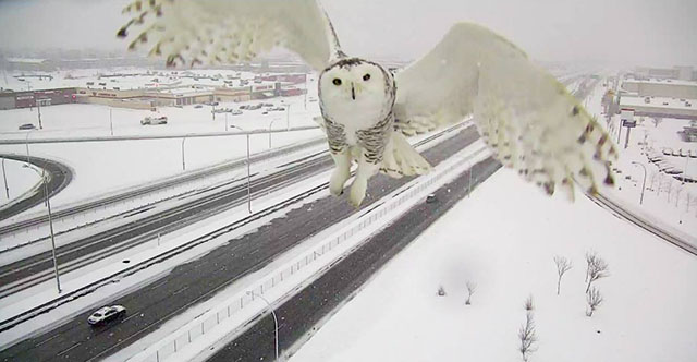 Schneeeule-2