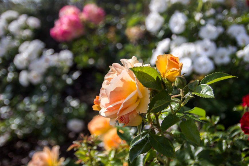 Rosenbeet Kopie